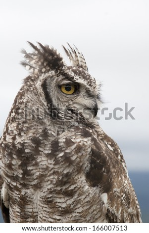 Spotted Eagle Owl - stock photo