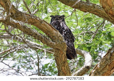 Spotted Eagle-Owl (Bubo africanus) in Kirstenbosch, South Africa - stock photo