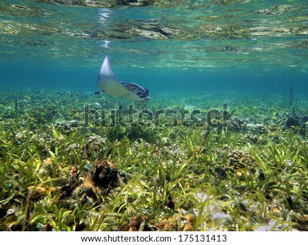 Spotted eagle ray Aetobatus narinari near water surface in a shallow coral reef, Caribbean sea - stock photo
