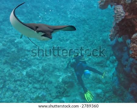 Spotted Eagle-ray (Aetobatus narinari) swimming over scuba diver. - stock photo