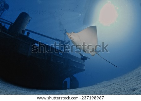 Spotted Eagle Ray flying by the USS Kittiwake, Grand Cayman - stock photo