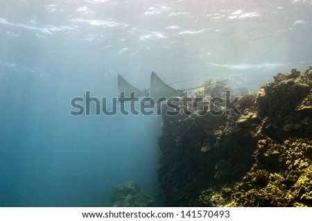 Spotted Eagle Rays - stock photo