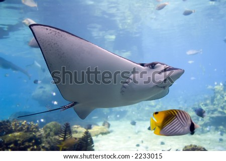 Spotted Eagle-rays (Aetobatus narinari) swimming over coral reef,Lined Butterflyfish. - stock photo