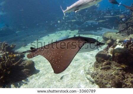Spotted Eagle-rays (Aetobatus narinari) swimming side on, over coral reef. - stock photo