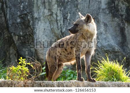 Spotted Hyena. - stock photo