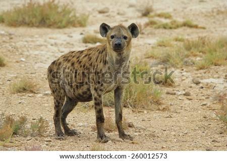 Spotted Hyena - African Wildlife Background - Predator Extraordinaire  - stock photo