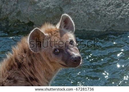 Spotted hyena (Bioparc, Valencia, Spain) - stock photo