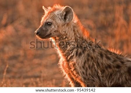 Spotted hyena, Crocuta crocuta - stock photo