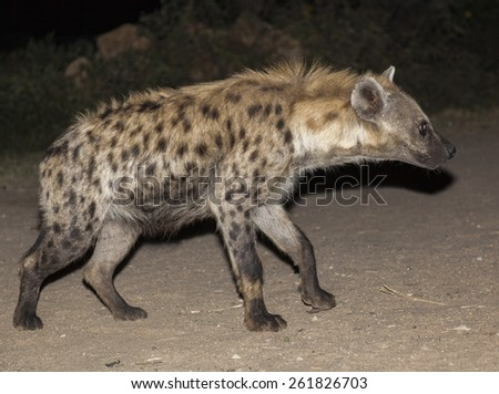 Spotted hyena (crocuta crocuta) in ancient city of Jugol. Harar. Ethiopia. - stock photo