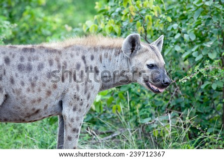 Spotted Hyena. South Africa, Kruger National Park. - stock photo
