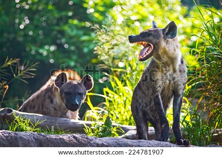 Spotted hyena threatening growl. - stock photo