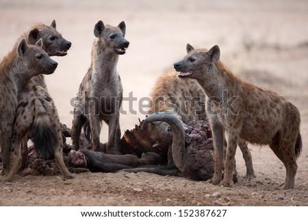 Spotted Hyenas on buffalo kill - stock photo
