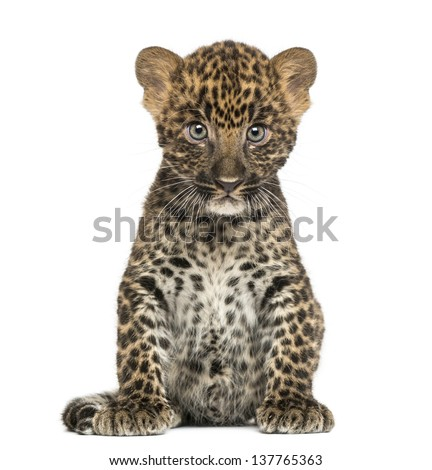 Spotted Leopard cub sitting - Panthera pardus, 7 weeks old, isolated on white - stock photo