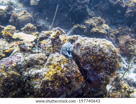 Spotted Moray eel, Curacao, Dutch Caribbean - stock photo