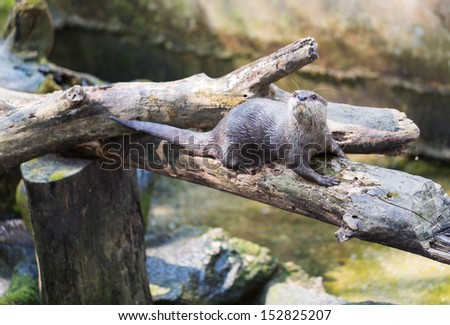 Spotted-necked otter (Lutra maculicollis) on log above green water - stock photo