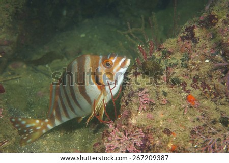 Spottedtail Morwong-Goniistius zonatus, Kanagawa Prefecture/Japan, 2010/10/16.  - stock photo