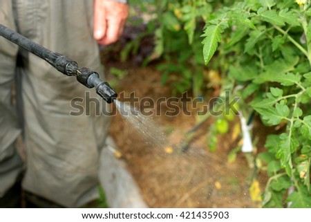 spray tomatoes from pests - stock photo