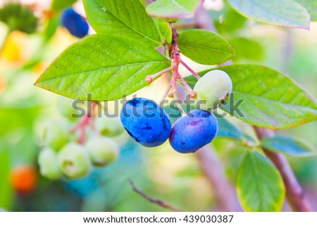 sprig of blueberries ripening on the bush in the garden - stock photo