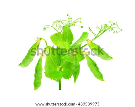Sprig of fresh peas with green leaves and pods isolated on white background. Design element for product label, catalog print, web use. - stock photo