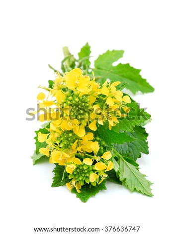Sprig of fresh rapeseed isolated on white background. Design element for product label, catalog print, web use. - stock photo