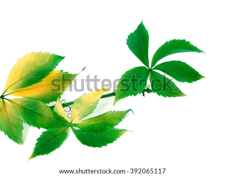 Sprig of grapes leaves (Parthenocissus quinquefolia foliage). Isolated on white background. - stock photo