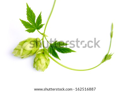 Sprig of hop with cones - stock photo