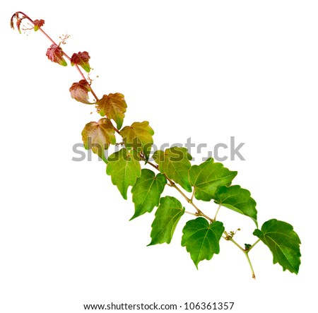 sprig of ivy with green leaves on a white background - stock photo