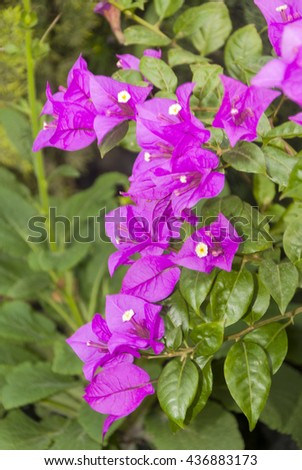 Sprig of mauve bougainvillea flowers with green leave. - stock photo