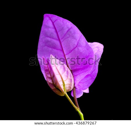 sprig of mauve bougainvillea flowers with green leave black background - stock photo