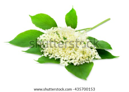 Sprig of sambucus with green leaves isolated on a white background. Design element for product label, catalog print, web use. - stock photo
