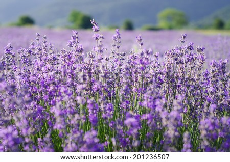 Sprigs of lavender in the field - stock photo