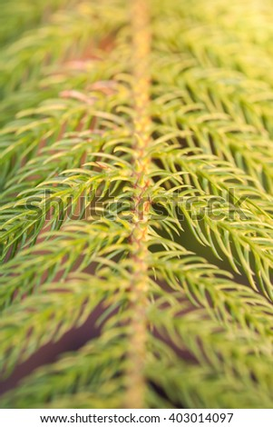 Sprigs of pine trees for the background, Selective Focus. - stock photo