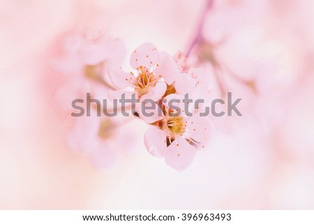 Spring apple blossoms flowers over a light pink background - stock photo