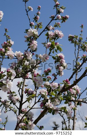 Spring 	apple-tree - stock photo