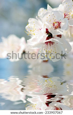 Spring apricot flower over pink background  - stock photo