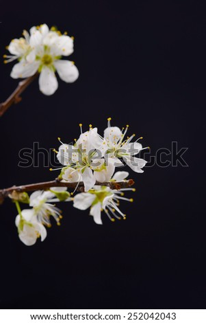 Spring apricot flowers on black background - stock photo