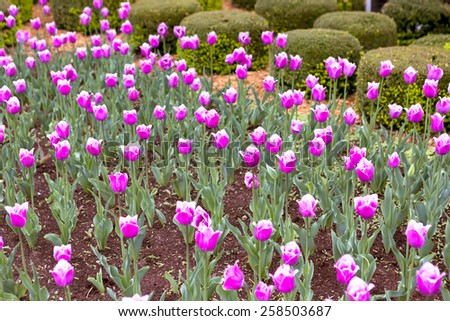 Spring around the corner, newly bloomed several purple tulips in the garden - stock photo