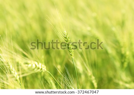 spring background of  Green young Wheat field - stock photo