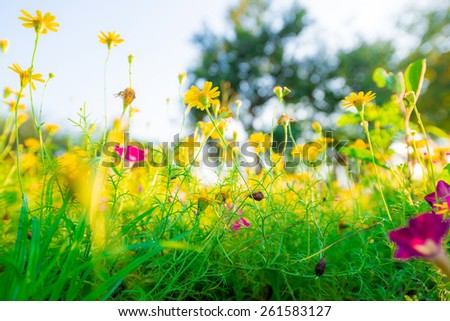 Spring background with beautiful yellow flowers, yellow flowers and morning dew - stock photo