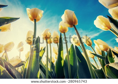 Spring background with beautiful yellow tulips - stock photo