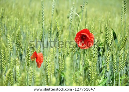 Spring Barley Green Field with Poppy Flower - stock photo