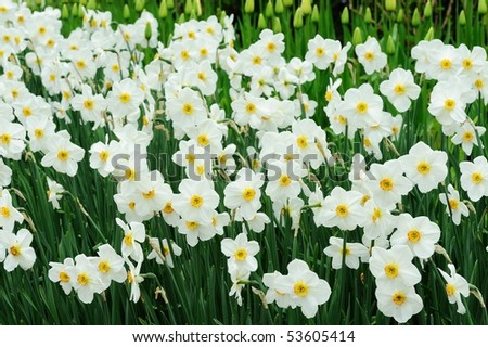 Spring beautiful daffodil field in historic butchart gardens, vancouver island, british columbia, canada - stock photo