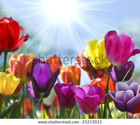 Spring Beauty - stock photo