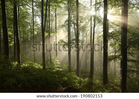 Spring beech forest after a few days of rain in a foggy morning. - stock photo