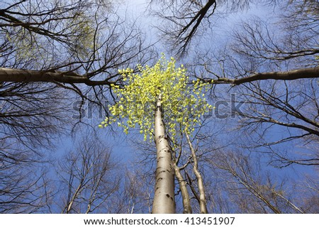 spring birch between stark leafless beech trees in early spring - stock photo