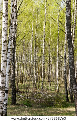 Spring birch grove with fresh green leaves - stock photo
