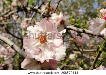 Spring bloom of almond trees in orchard. - stock photo