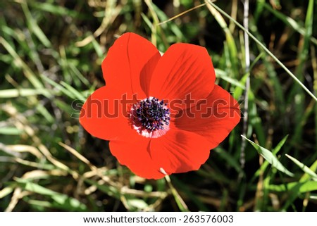 Spring bloom of red anemone flower in Israel. - stock photo