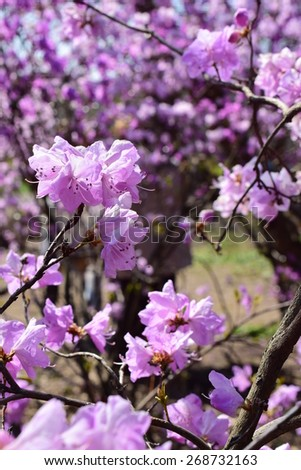 Spring bloom of rhododendron flowers. Pink floral background. - stock photo
