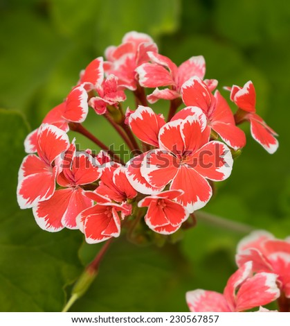 Spring bloom of the Pelargonium  Geranium Flower  - stock photo